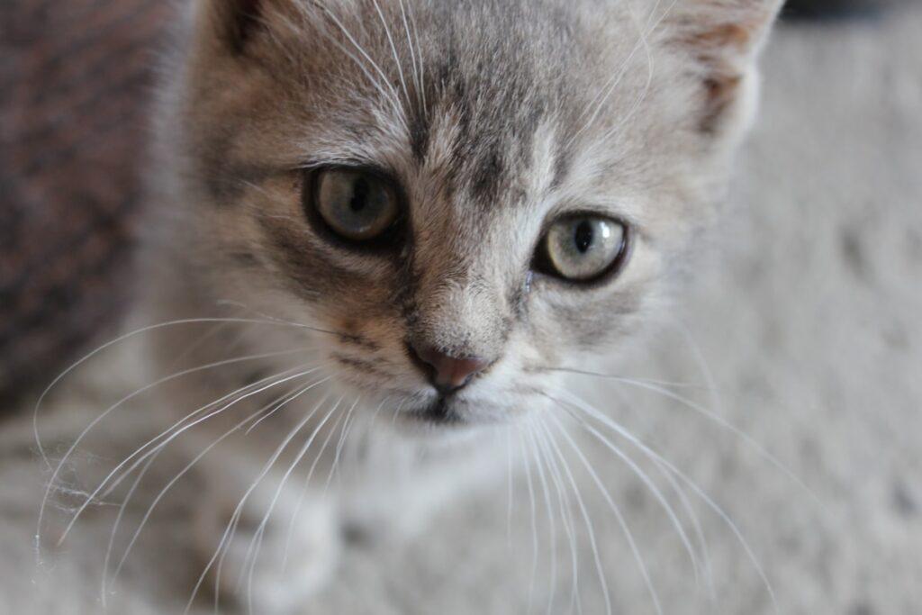 gatto grigio chiaro