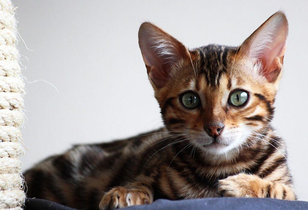 felino adorabile occhi