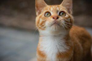 gattino adorabile arancione