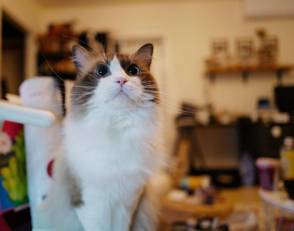 felino sguardo stupendo