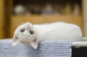 felino bianco dolcezza