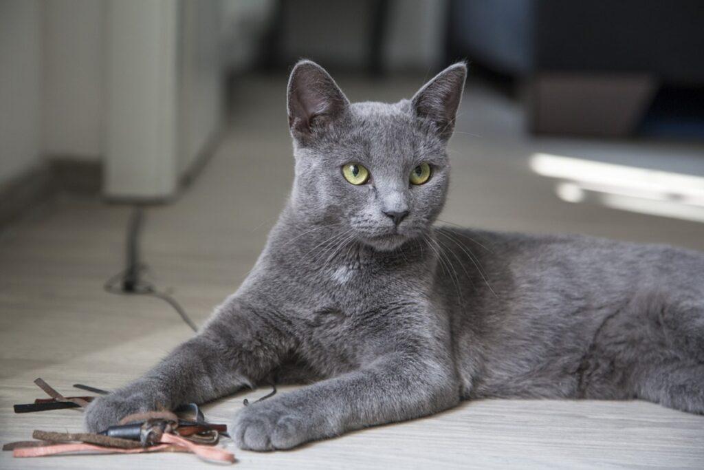 felino grigio stupendo