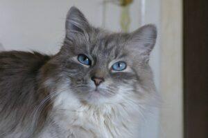 gatto grigio bellissimo