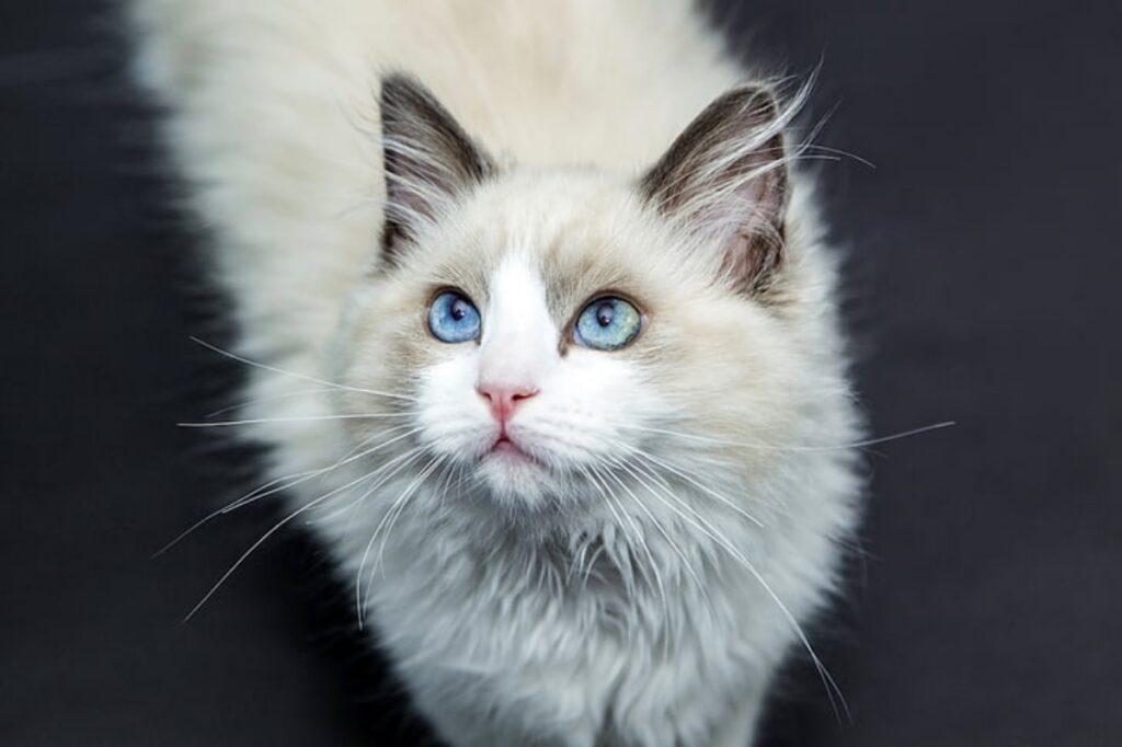 gatto bianco pelo
