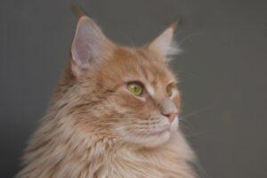 gatto arancione meraviglioso