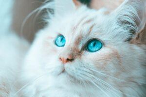 micio bianco pelo