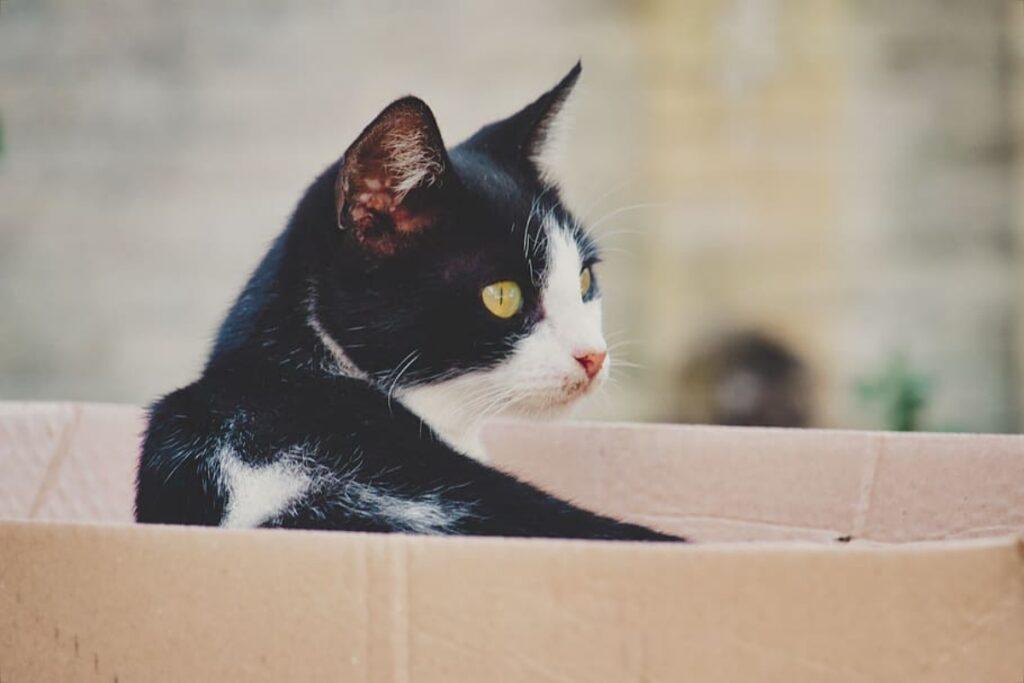 felino scatola cartone