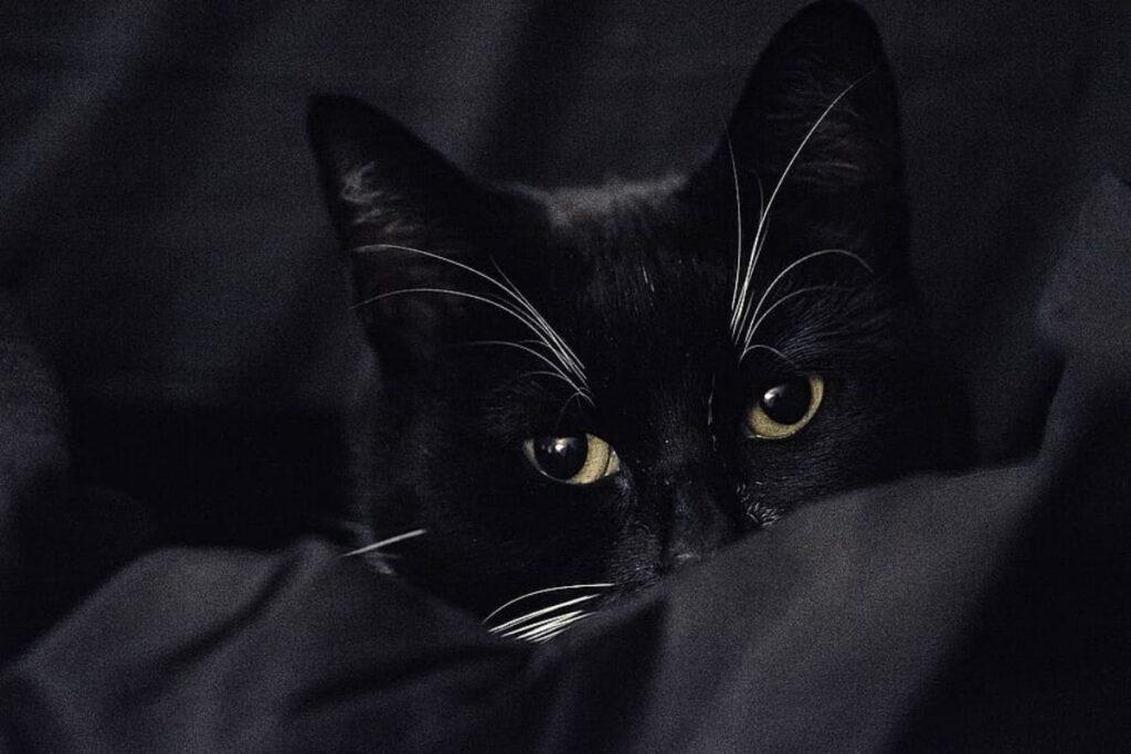 felino nero occhi