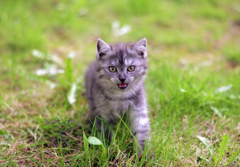 felino corre miagolando