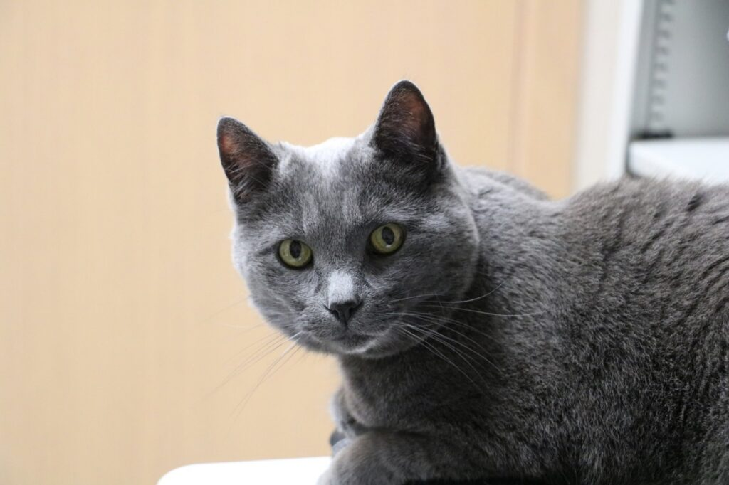 micio grigio tenero