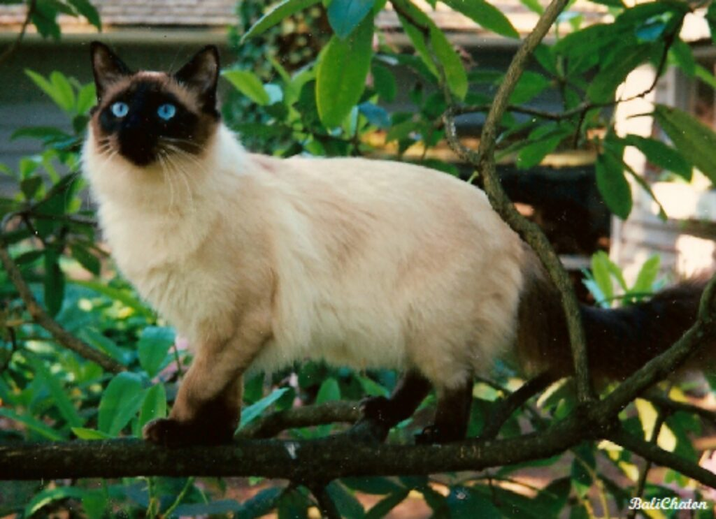 gatto balinese pianta