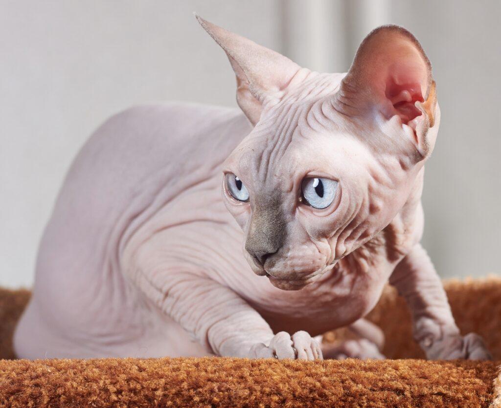 gatto privo pelo