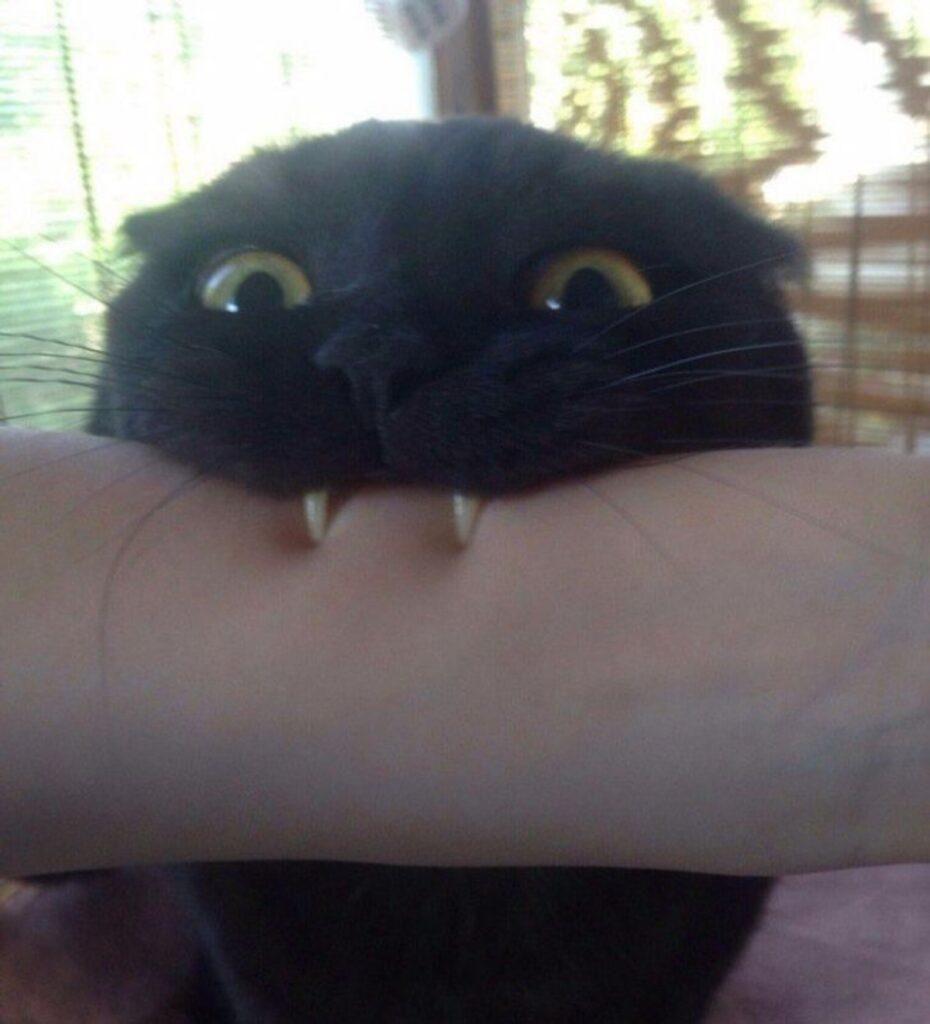 gatto morde braccio