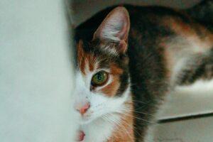 gatto calico micio