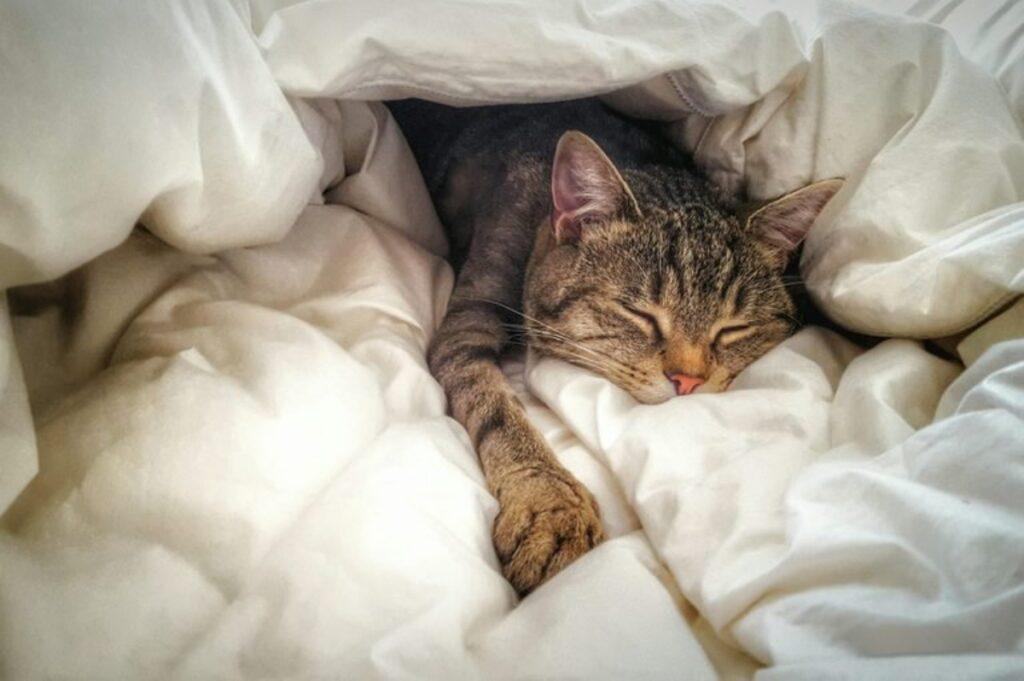felino sotto coperte
