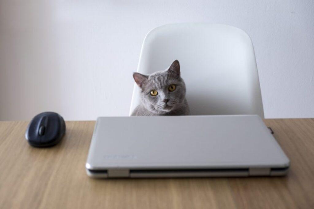 gatto grigio pc