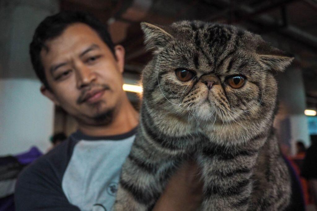 gatto persiano muso