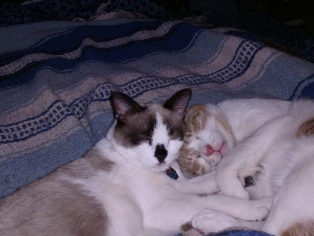 gatti coppia riposino