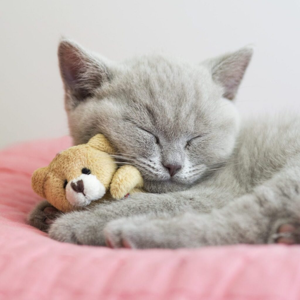 gatto felino sonno