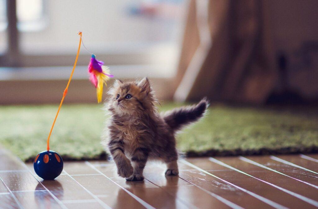 felino gioca piuma