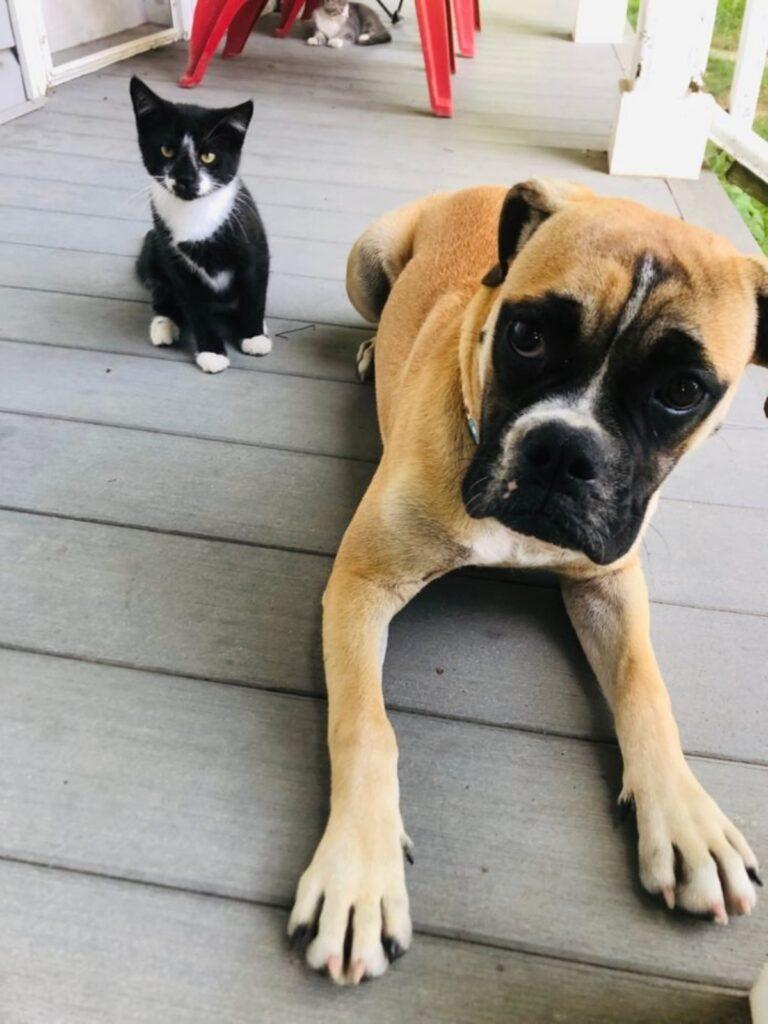 boxer con gatto