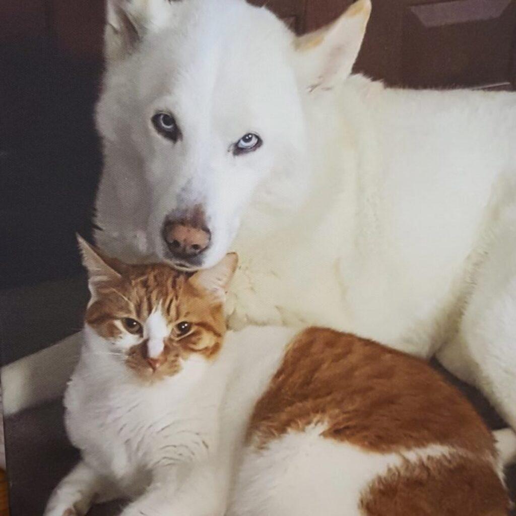 husky bianco gatto