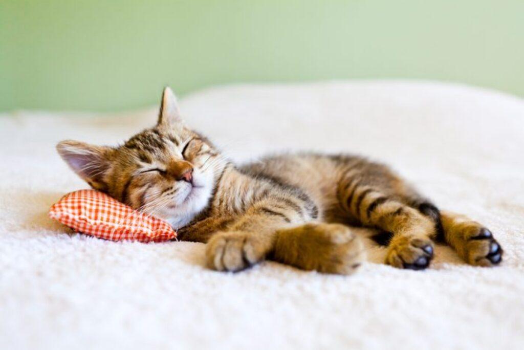 micio sonno profondo