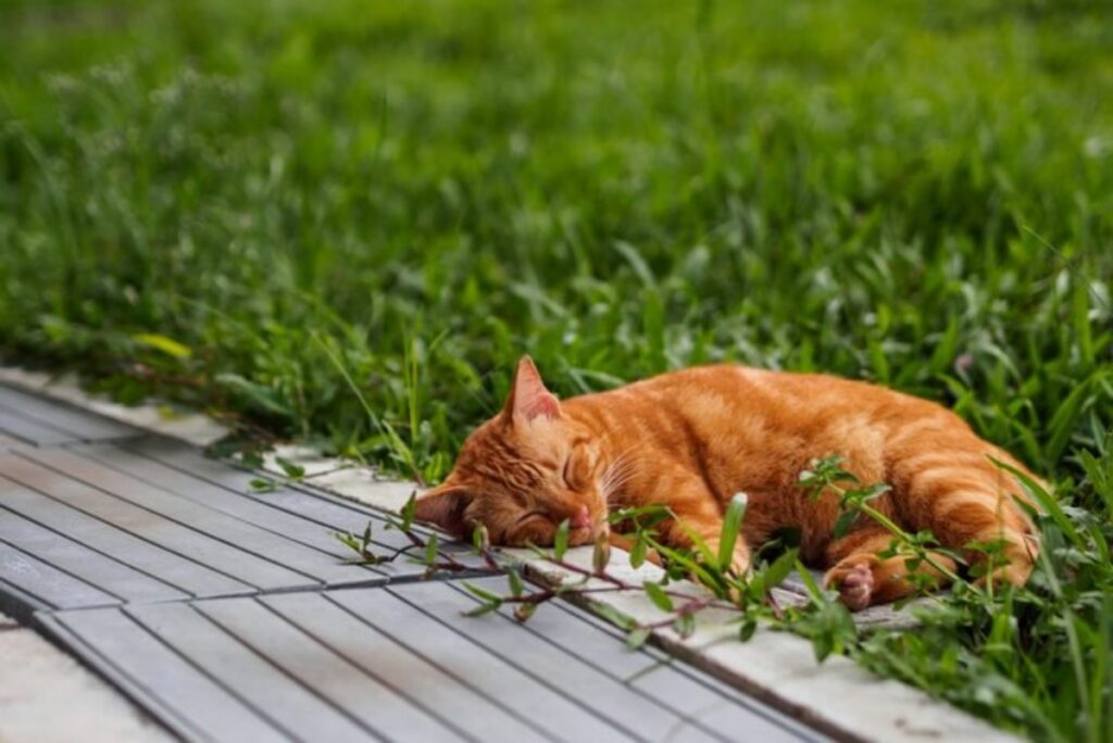 felino rosso prato