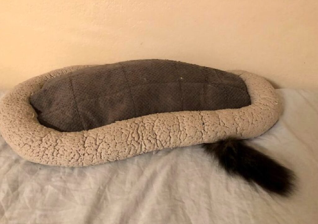 gatto sotto cuccia di lana