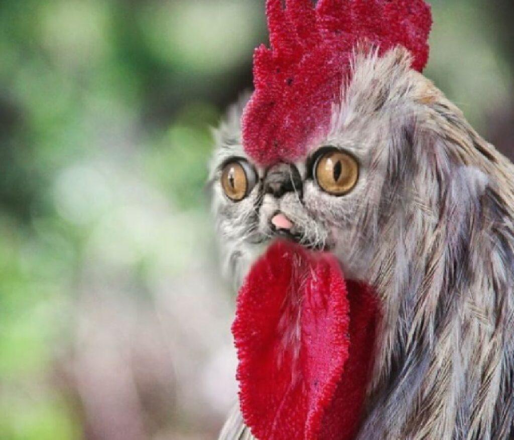gallo con volto ritoccato