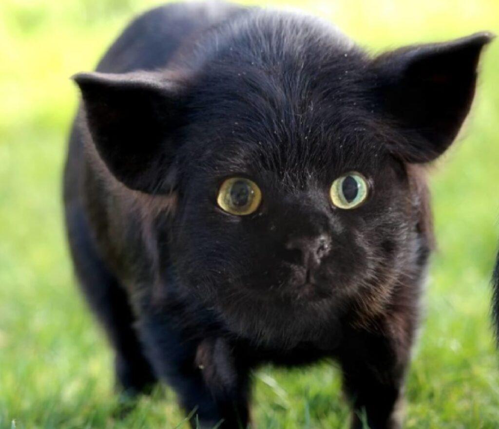 porcellino ha il volto felino
