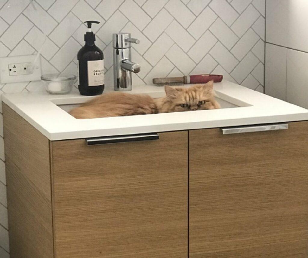 gatto pelo lungo lavandino