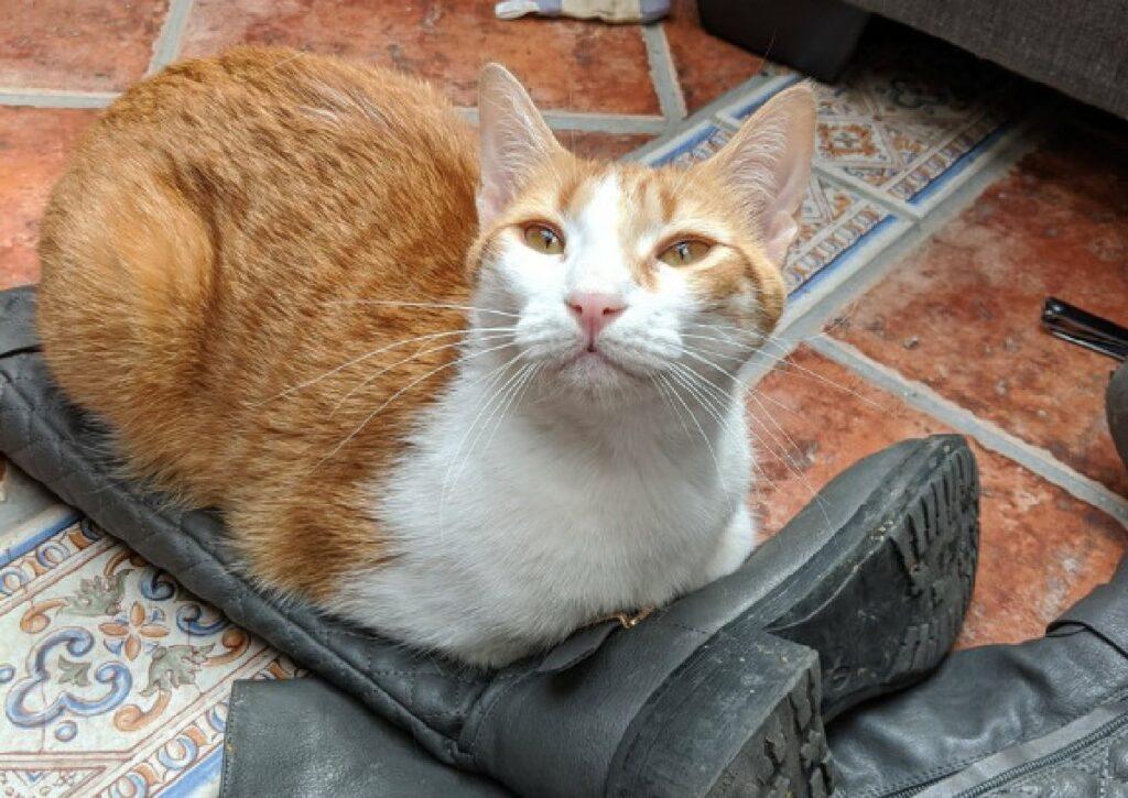 gatto rosso e bianco su stivale