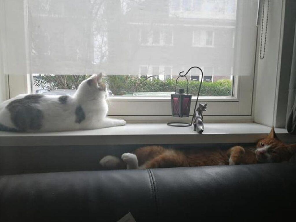 gatto rosso insieme gatto bianco