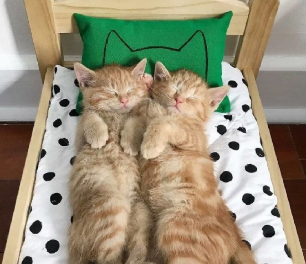 coppia gatti dormono stesso letto