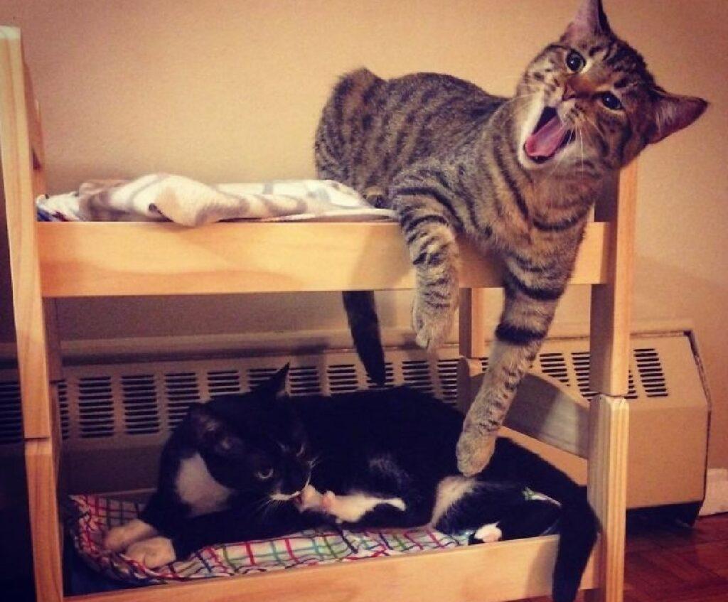 gatto apre bocca per sbadiglio