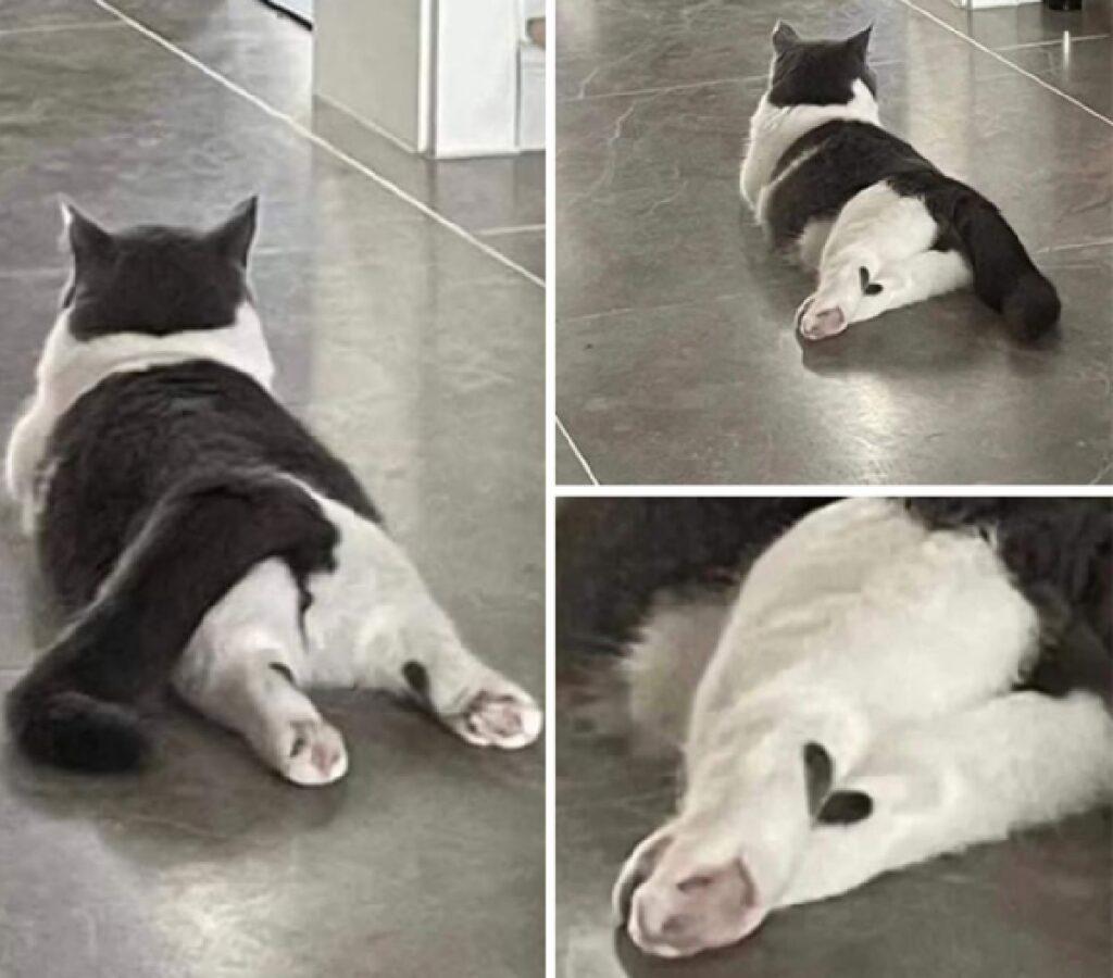 gatto con macchia cuore