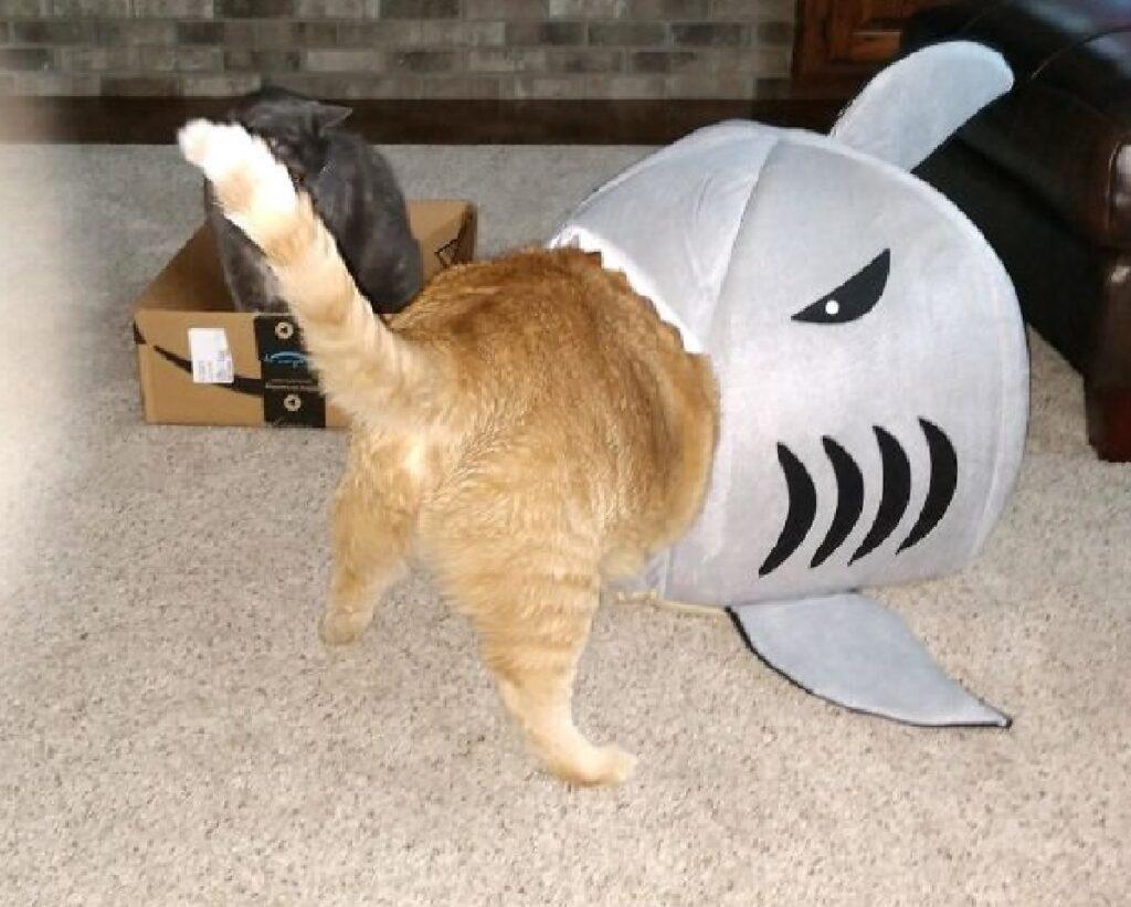 gatto testa squalo dentro