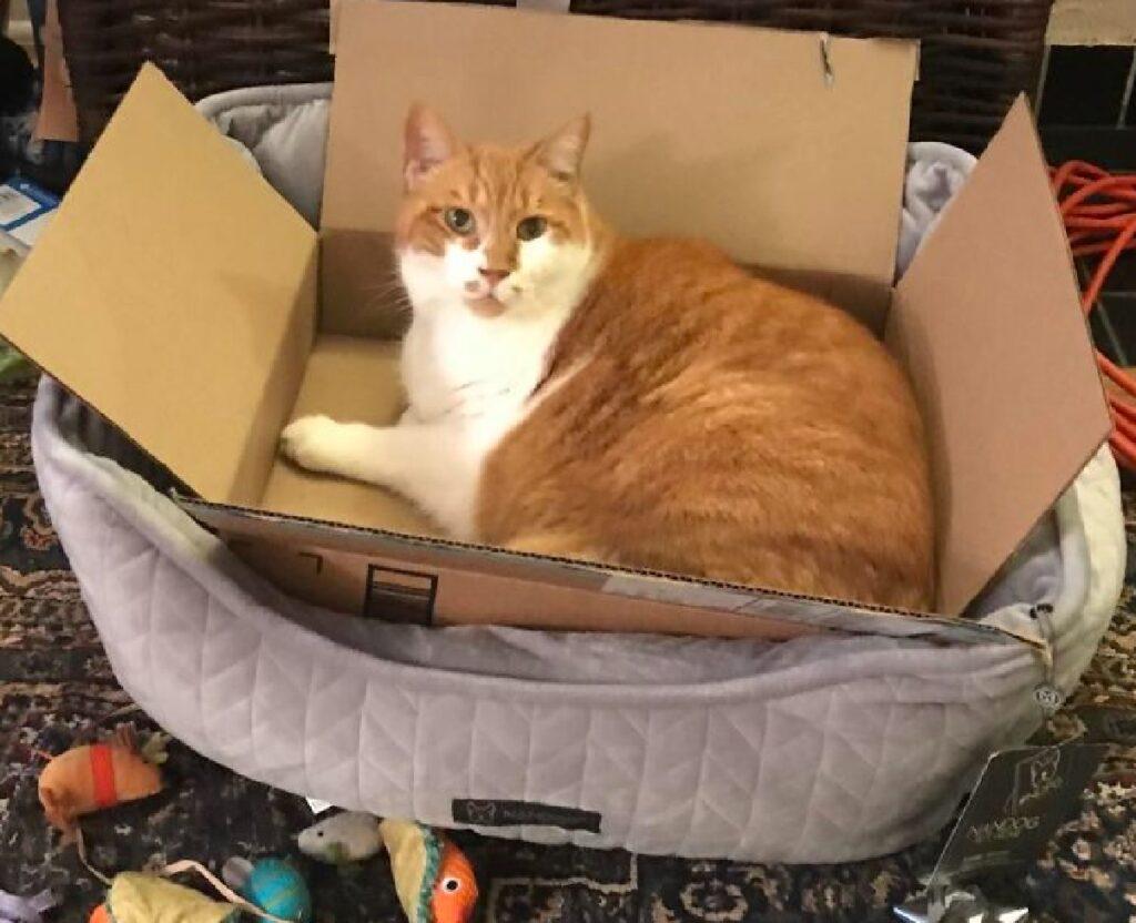 gatto rosso scatolone comodo