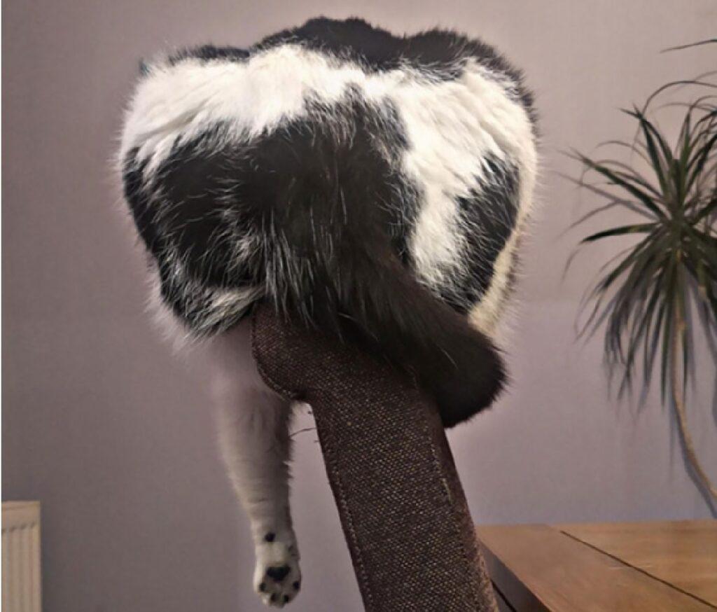 gatto su sedia corta