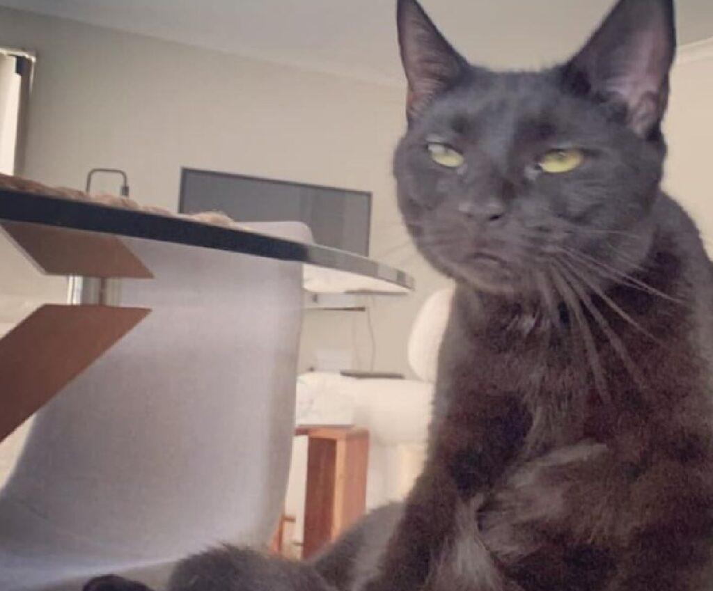 gatto pelo scuro viso sconvolto
