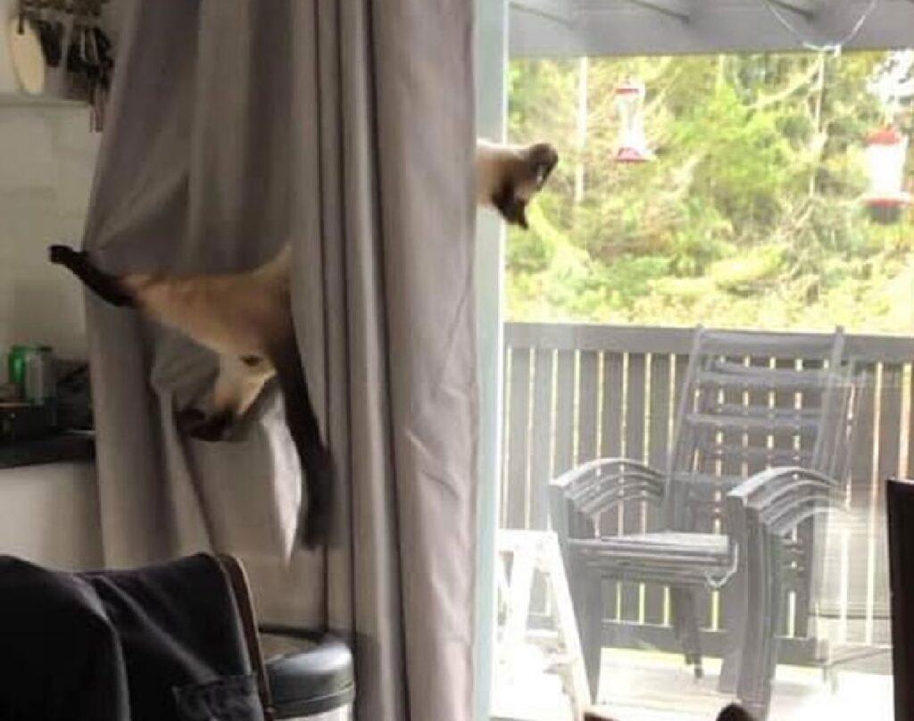 gatto siamese sulle tende