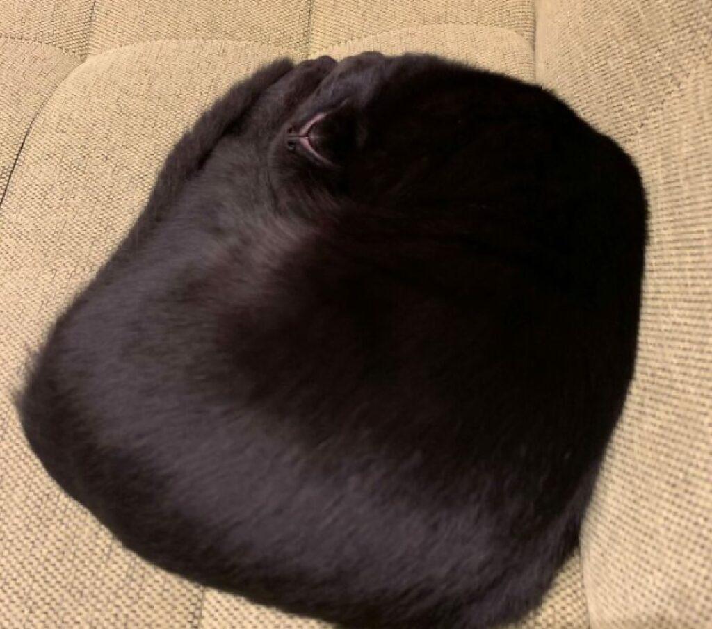 gatto sembra cuscino nero