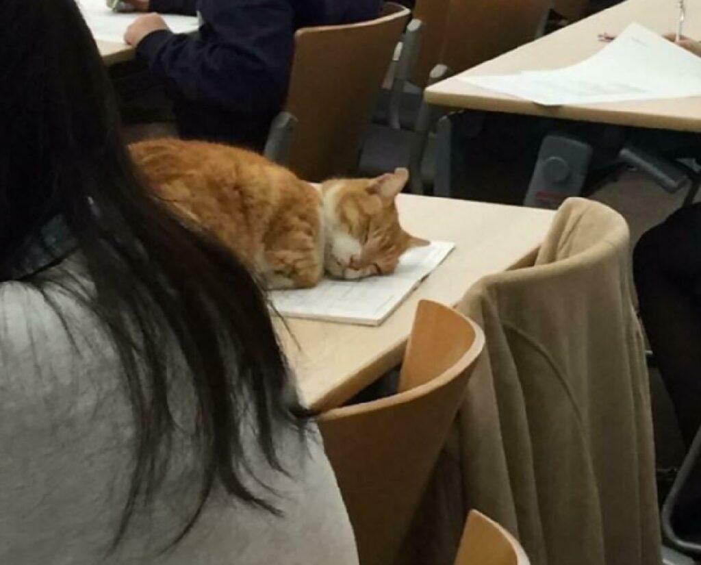 gatto rosso dorme lezioni