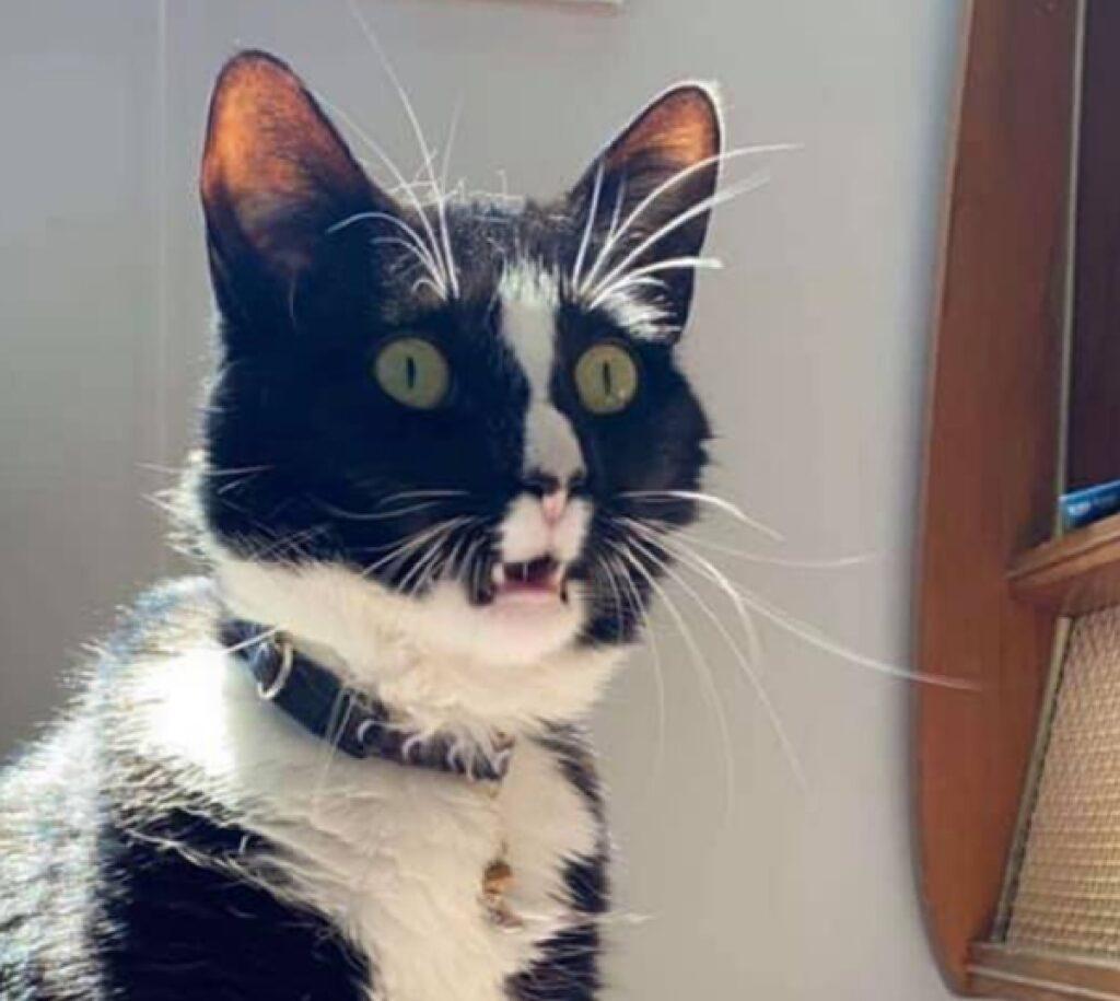 gatto bianco nero stupito