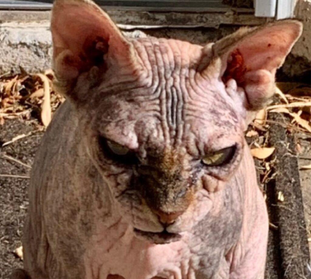 gatto pelle rugosa