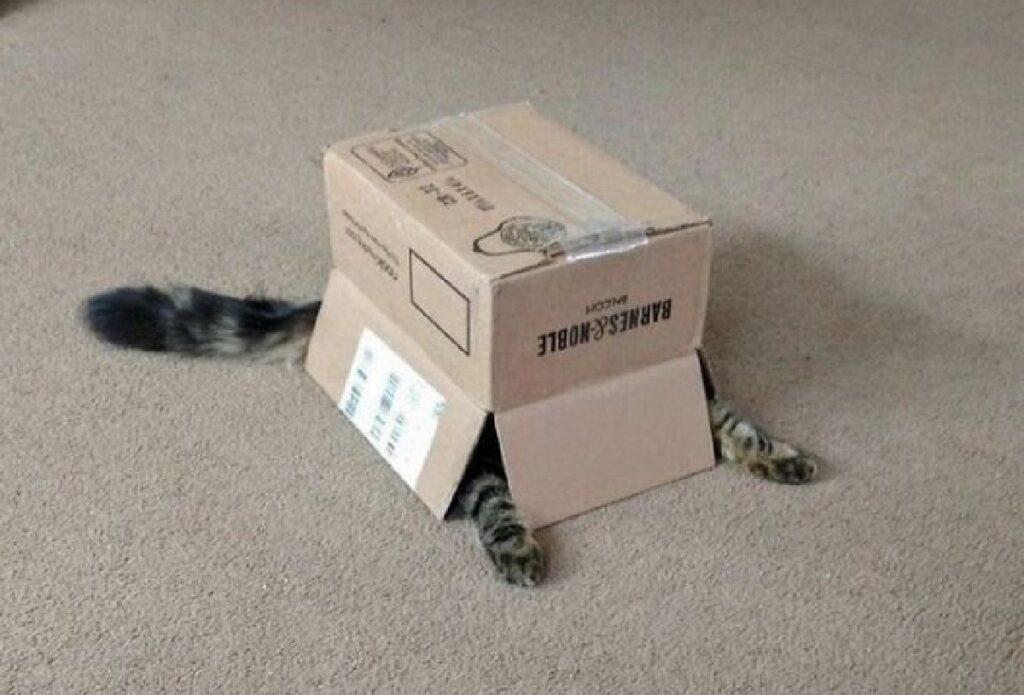 gatto dentro scatola cartone