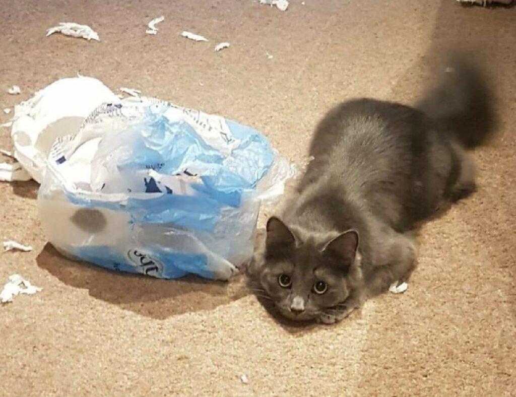 gatto distrugge busta