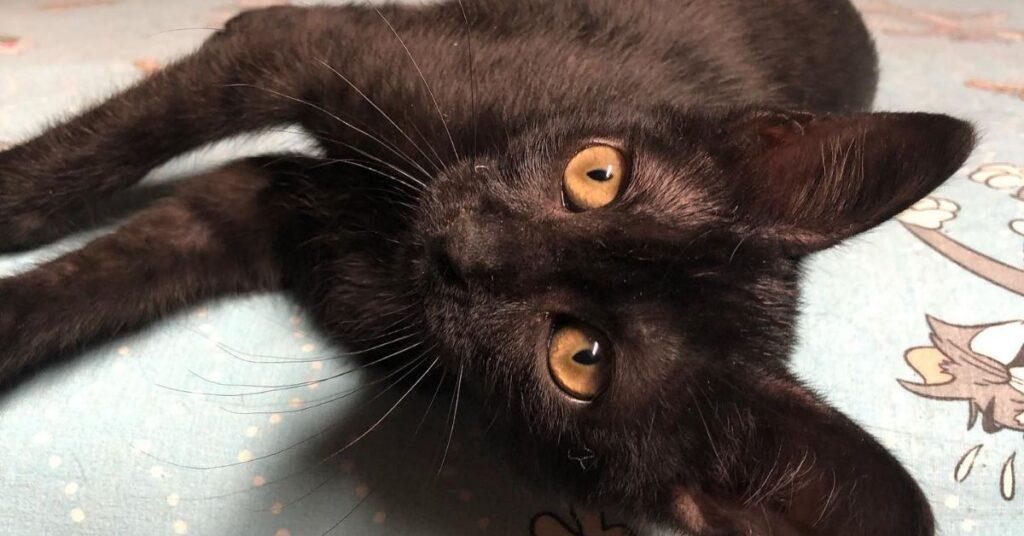 gatto nero dagli occhi gialli