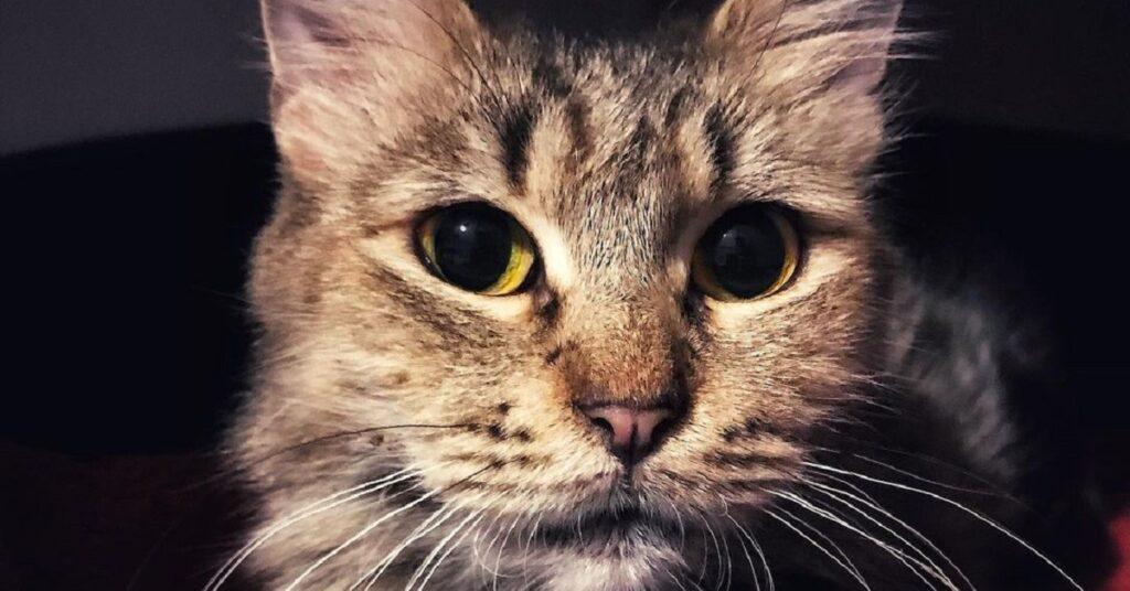 gatta dagli occhi grandi e gialli